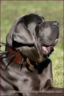 Molosser Dog with Spike Collar
